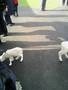 lambs 014.jpg