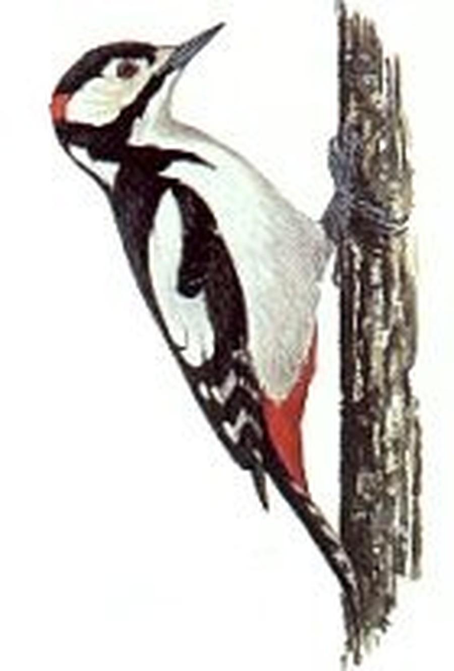 Woodpeckers - Y3