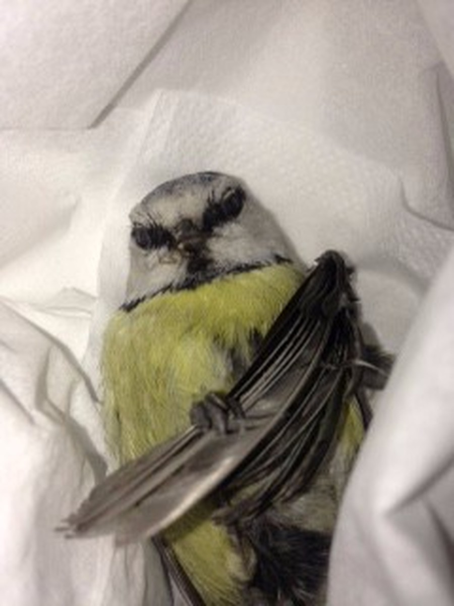 The injured blue tit.