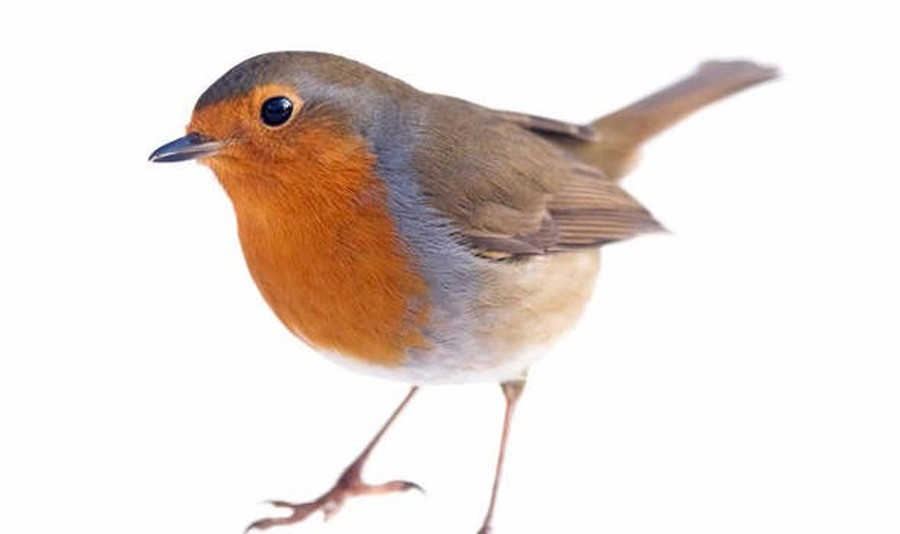 The Winner is the Robin with 51 votes.