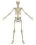 HumanSkeletonFront-819x1024.jpg