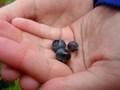 picking blueberries (1).JPG