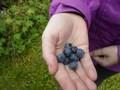 picking blueberries (3).JPG