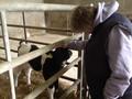 A calf enjoying a scratch from Mrs Parsons.