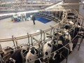 Cows being milked inside the dairy.