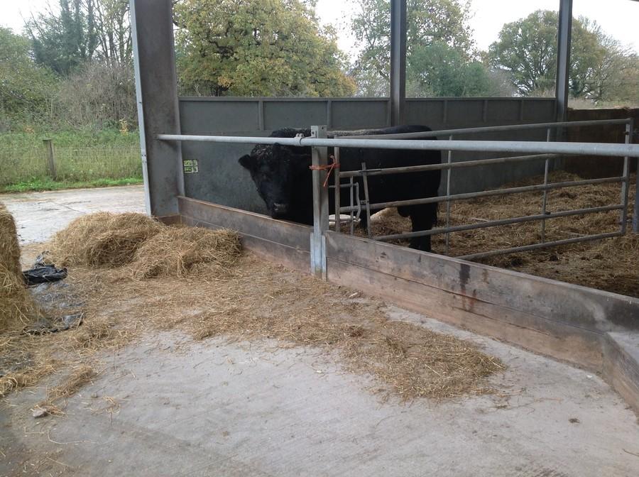Aberdeen Angus bull named Baldy.