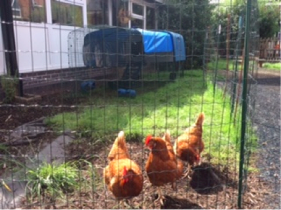 4A have some class hens. They are coming back to school after half term. The children have been learning how to care for them and helping to sell the eggs around the school. The hens are called Peggy, Fluffy and Betty.