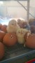 6 chicks (1).jpg
