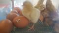 6 chicks (5).jpg