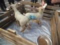 Lambs (3).JPG