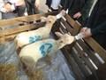 Lambs (9).JPG
