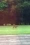 deers 1.jpg