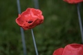 Poppies-2.jpg