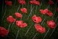 Poppies-4.jpg