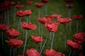 Poppies-5.jpg