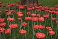 Poppies-7.jpg