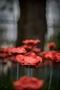 Poppies-9.jpg
