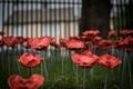 Poppies-10.jpg