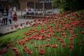 Poppies-11.jpg