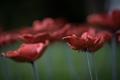 Poppies-12.jpg
