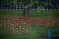 Poppies-15.jpg