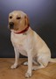 Bramble,<br>Listening and emotional well-being school dog<br>