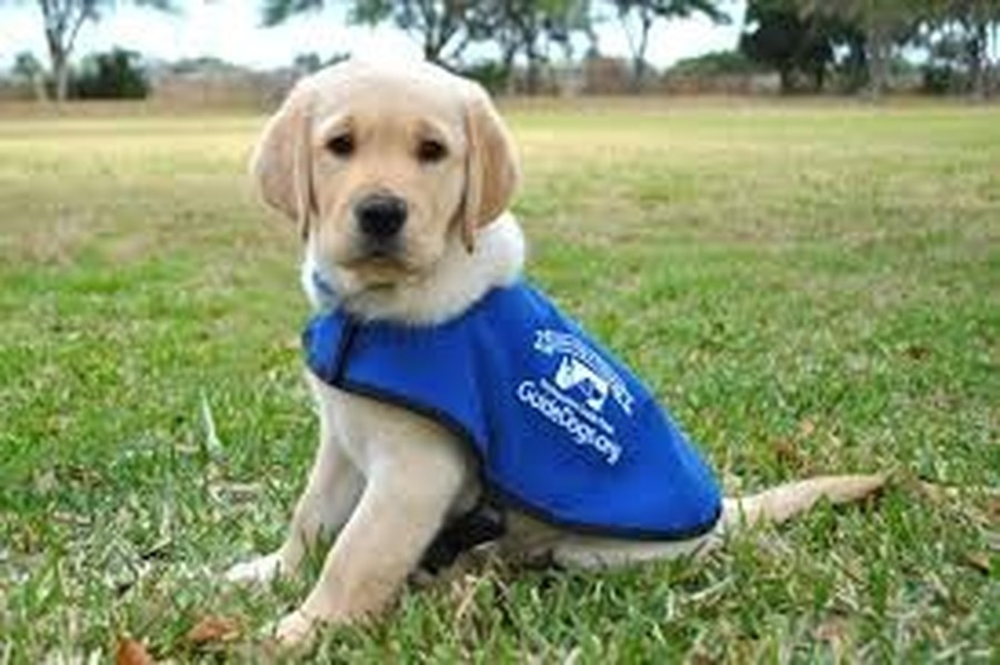 We sponsored the training for 3 guide dogs!