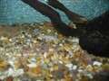 <p>The Brown Trout eggs in our tank.</p>