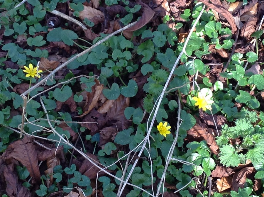 These are Celandine's and not Buttercups which come out in the summer.