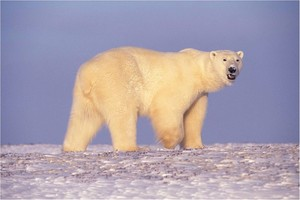 Arctic Bear.jpg