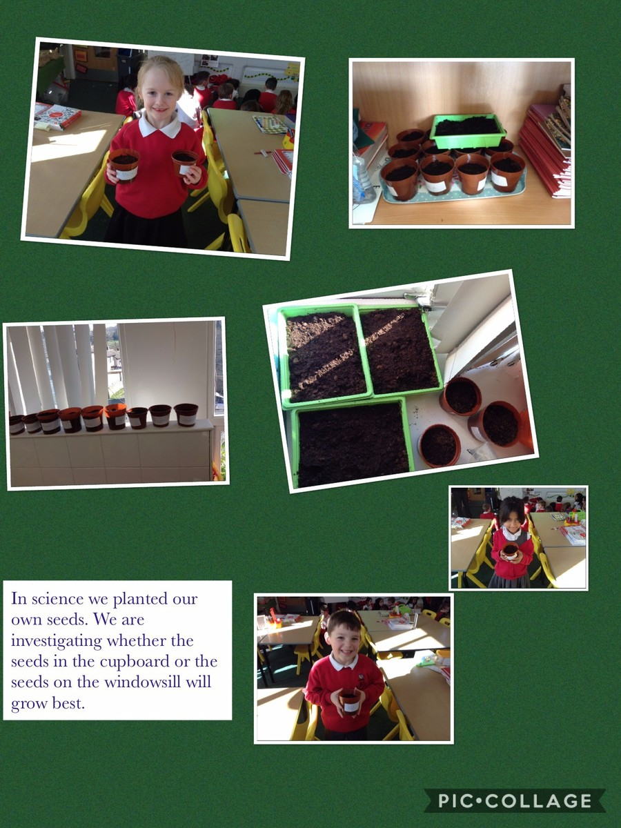 As part of our plants and animals topic  we planed our own seeds. We tested and compared which plants grew the best the ones on the windowsill or the ones we placed in the cupboard.