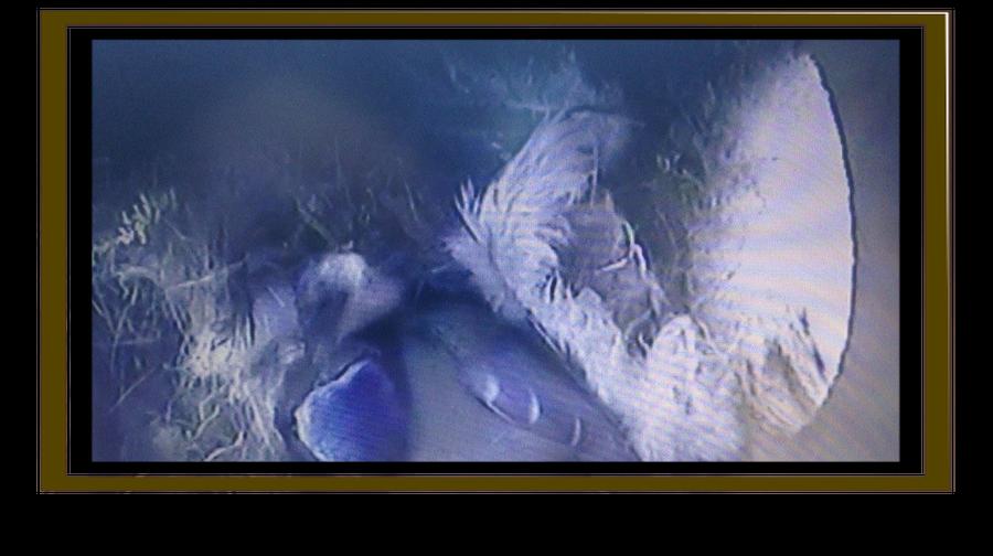 Brooding Bluetit. Mum or Dad?