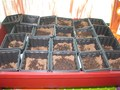 Our cress seeds are planted