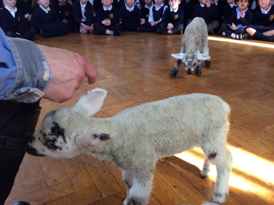 Spring lambs visited Early Years, Year 1 & Year 2