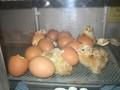 chicks4.JPG