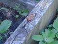 butterflies (7).JPG