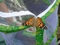 butterflies (10).JPG