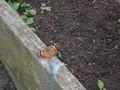 butterflies (15).JPG