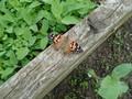 butterflies (21).JPG
