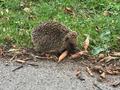 web hedgehog.png